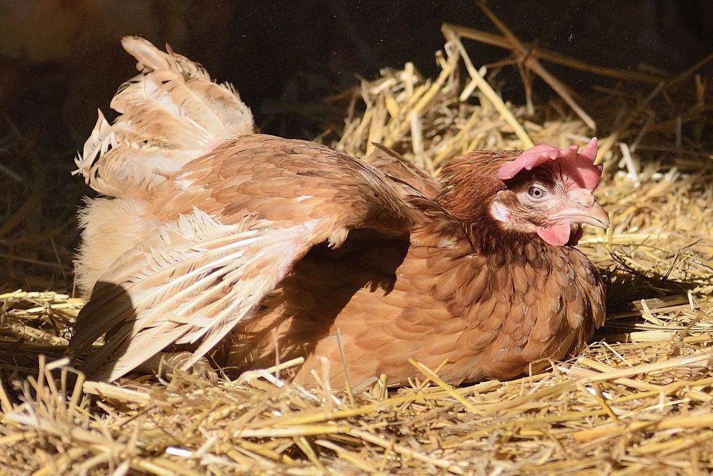 Battery hen Chicken rescue